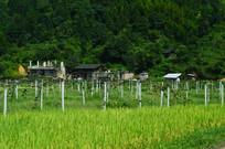 农田葡萄种植