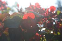 阳光下的秋海棠