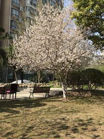 樱花 草坪