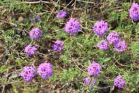 花丛里紫花