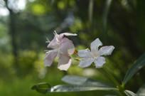 两朵夹竹桃花