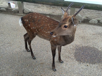 奈良神鹿日本