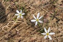 三朵白色花