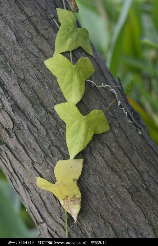 原创摄影图 动物植物 树木枝叶 树上的爬山虎