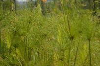 纸莎草草丛