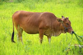草地上的大黄牛