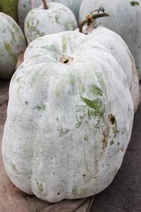 成熟的冬瓜