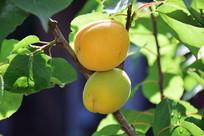 成熟的杏子图片