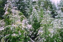 初秋森林雪韵