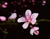 带着水珠的桃花