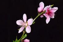 粉嫩桃花高清摄影图