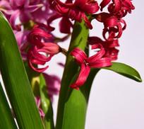 红色风信子花卉摄影