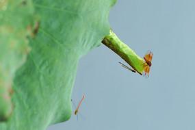 红蜻蜓展翅