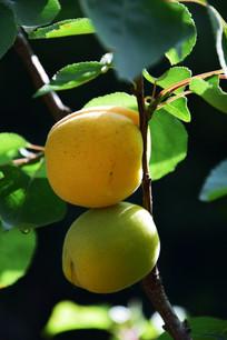 黄了的杏子特写图
