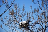 蓝天背景积雪的桐树