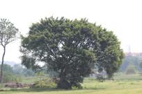 庞大的大树