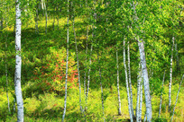 秋季白桦林风景