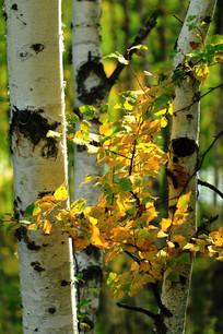 秋季白桦树金色的树叶
