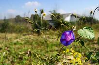 野外的盛开的喇叭花