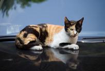 一只趴在汽车上的猫