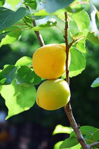 诱人的杏树果实