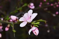 枝头盛开的桃花