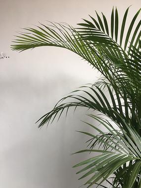 富贵椰子的叶子