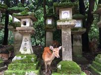 奈良春日神社神鹿