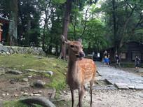 奈良公园神鹿近照