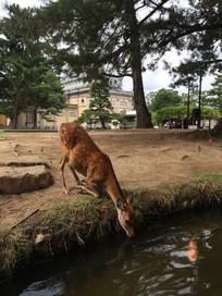 奈良神鹿饮水图