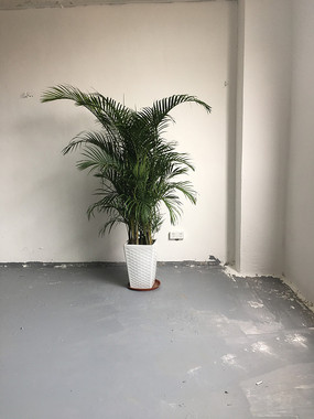 墙角的一盆富贵椰子