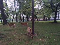 日本奈良公园鹿群