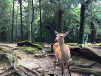 日本奈良公园神鹿