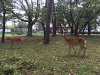 日本奈良公园神鹿漫步