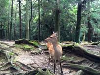 日本奈良公园神鹿树林