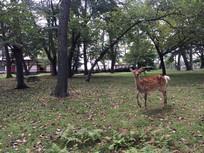 日本奈良公园神鹿树木