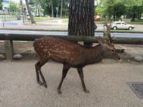 日本奈良神鹿老鹿
