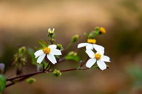 唯美小白花
