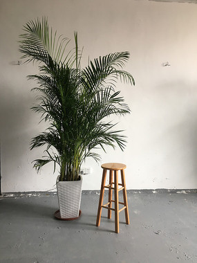 一盆富贵椰子