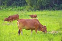一群吃草的牛