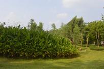 公园里的水竹芋和树木