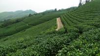 黎平山顶的有机茶园