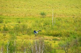 湿地草甸灰鹤