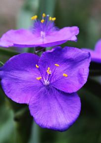 紫露草高清特写图片