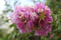 姹紫杨红樱花