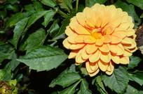 漂亮的黄色大丽花