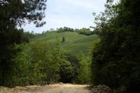 山坡上的茶园