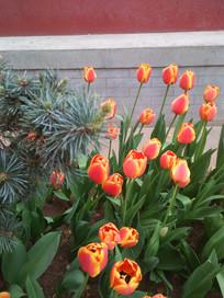 郁金香花坛
