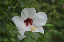 白花扶桑花