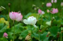 白色荷花和粉色荷花